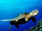 plongee-tortue-anses-arlet.jpg